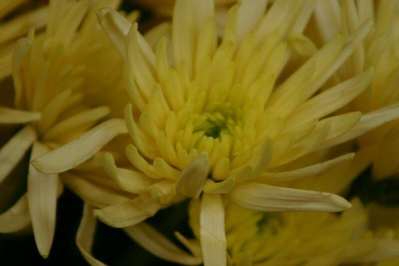 Chrysanthèmes 2