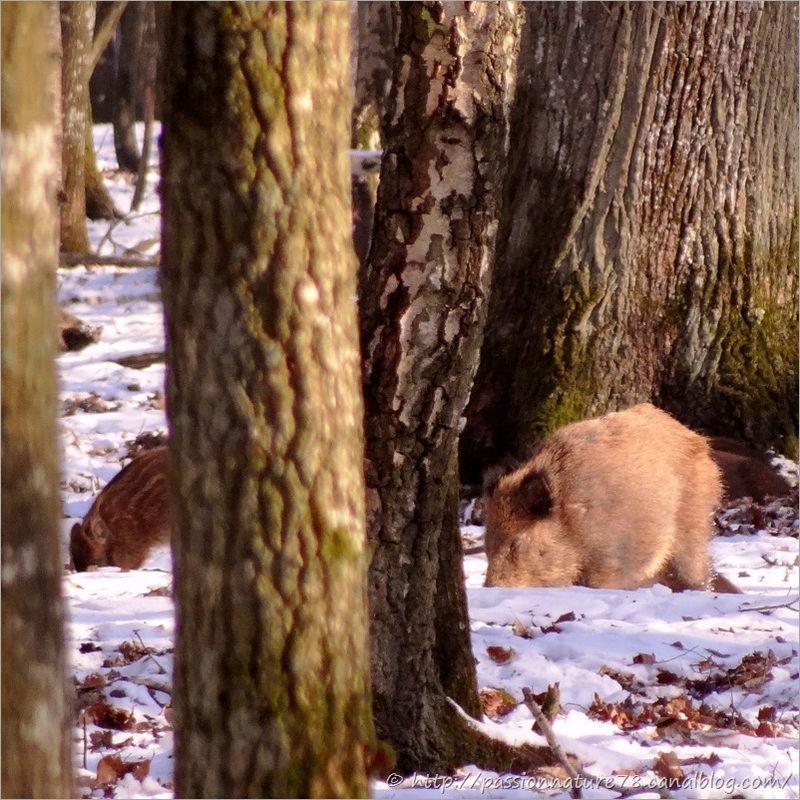 Sangliers dans la neige (5)