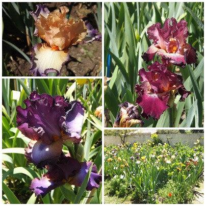 Iris du B 2 (19)