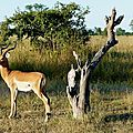 02-Réserve de South Luangwa-Impala