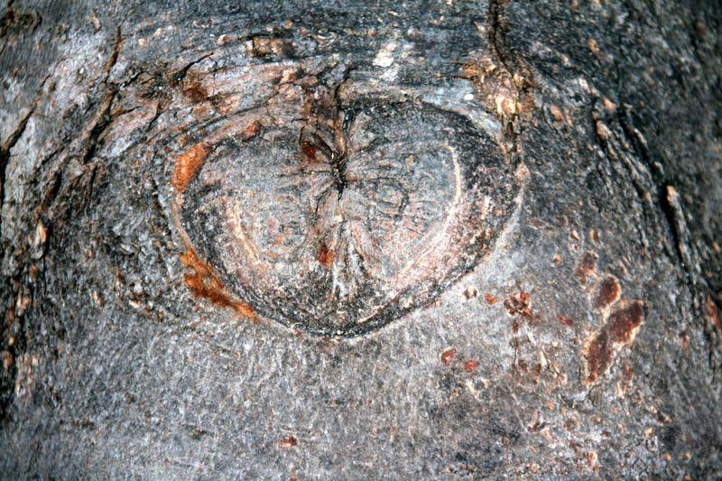 Coeur tronc d'arbre_5586 a