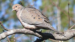 250px_Mourning_Dove_27527