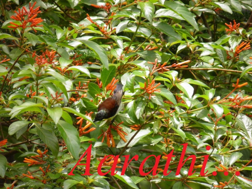 Humming bird on a fire bush tree.