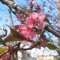 Fleurs de ceriser japonais