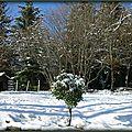 Un certain chêne vert au Poizat (Ain)