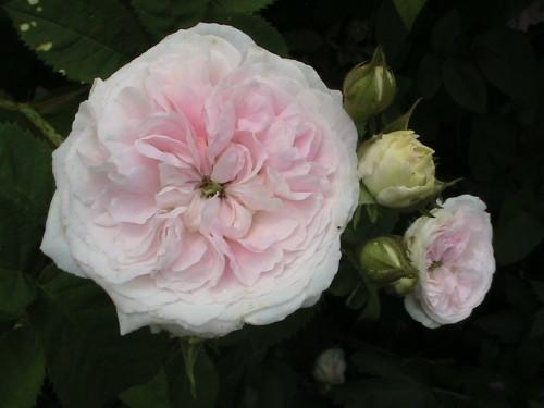 f_licit__rose