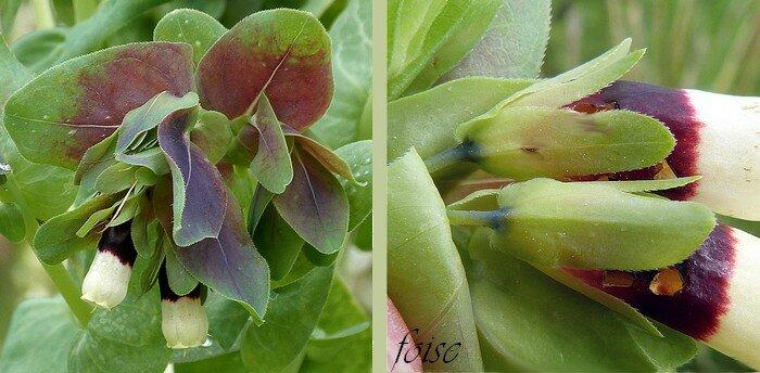 nombreuses brac tées foliacées ovales-ciliés pédoncules courts sépales oblongs