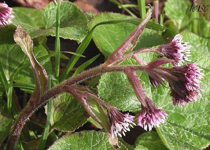 feuilles supérieures réduite à la gaine aiguës dans le haut