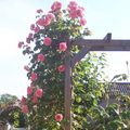 roses anciennes tres odorantes