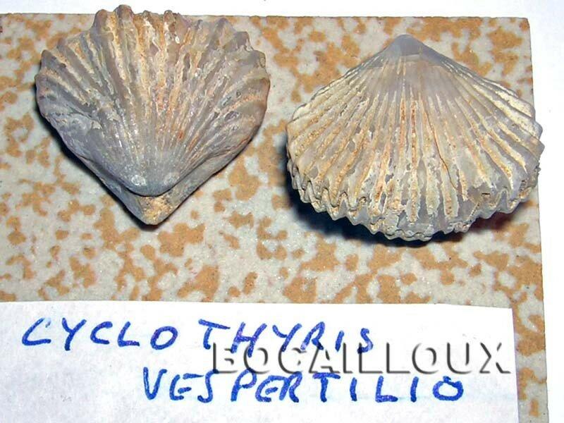 CYCLOTHYRIS VESPERTILIO