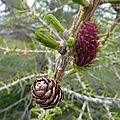 P1060253 Fleur du Méléze