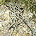 tronc à racines nues