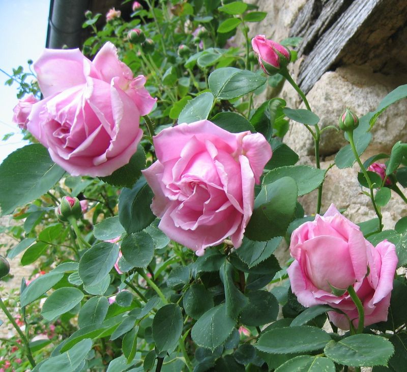 Rose ancienne : 'Mme Roudillon'