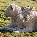 lions parc des felins 2