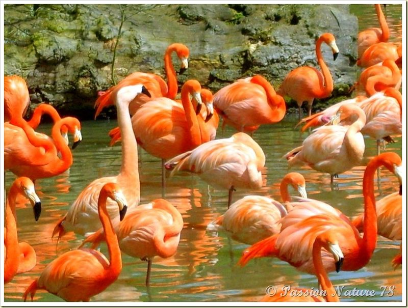 Les flamants roses (7)
