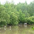 Canards sur l'étang