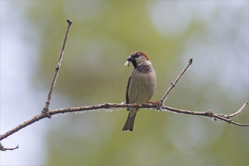 Oiseau moineau insecte bec 190521 5
