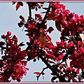 Arbre fleurs roses 090415
