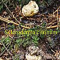 Scleroderma citrinum