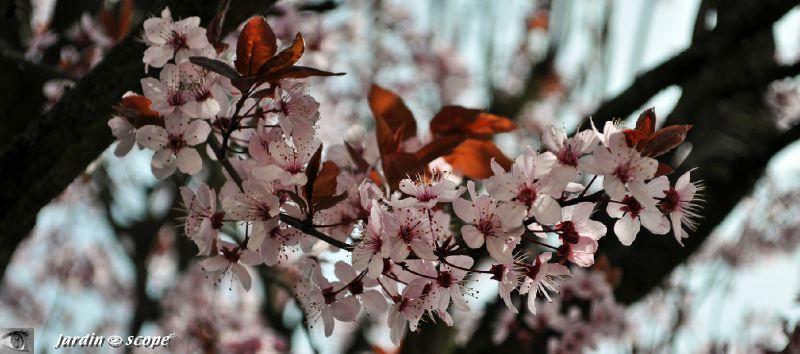 Prunus-en-fleurs