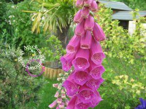 Fleurs au jardin mercredi 19 juin 2013 004