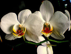 orchid_e_blanche__Amanecer08