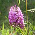 C'est le moment de découvrir les orchidées sauvages couzottes ...
