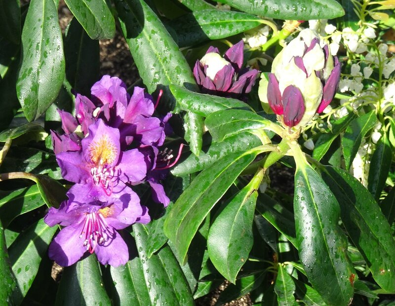 rhododendron marcel mesnard ouvrant ses boutons