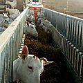 divers chèvres 040