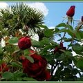 Roses rouges 0605152