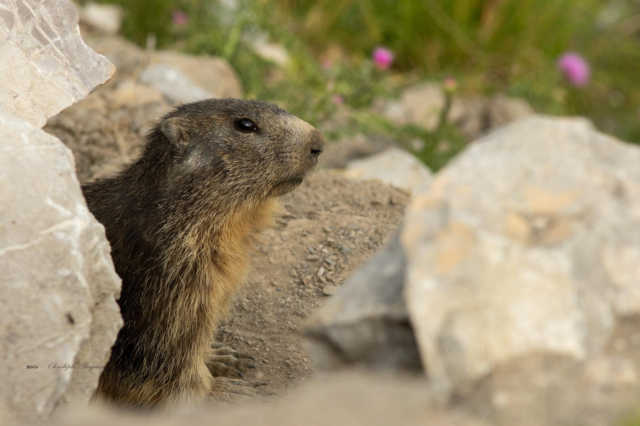 Jolie Marmotte