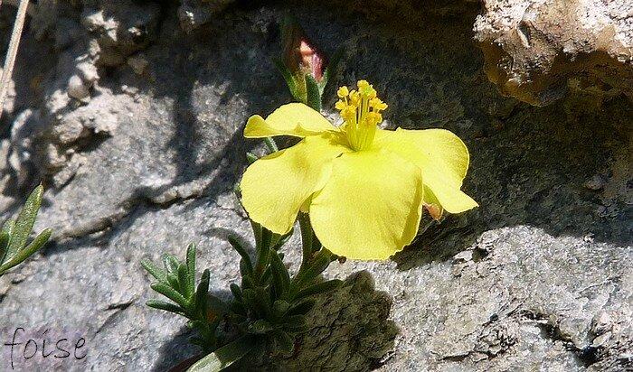 fleur solitaire axillaire