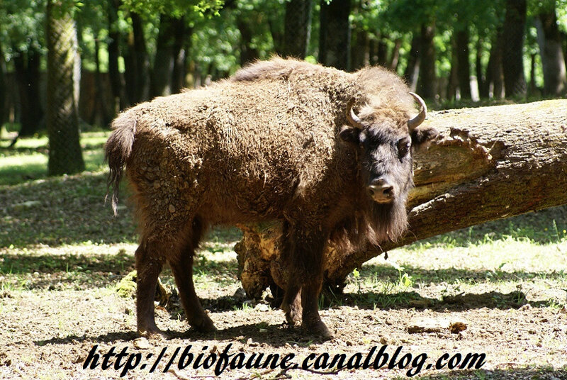 BISON D'EUROPE EN CAPTIVITE A ZOODYSSEE