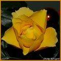 rose jaune 1