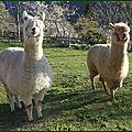 Alpagas (3)