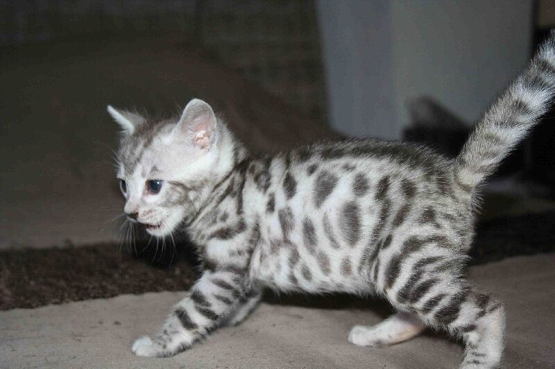 chaton-bengal-a-donner