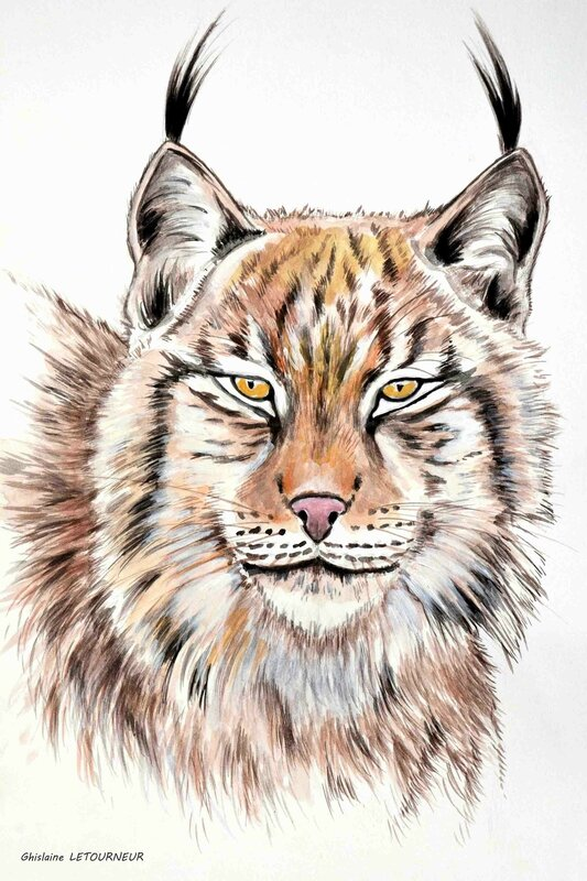 Lynx boréal - Peinture gouache - Lynx lynx - D'après Mario Moreno photography