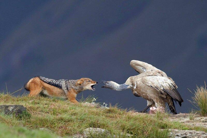 chacal et oiseau3c8b0042