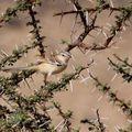 Spiloptila clamans ad3_Route d'Awserd_Maroc_XRu