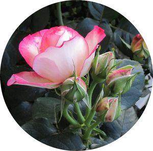zoom_rose