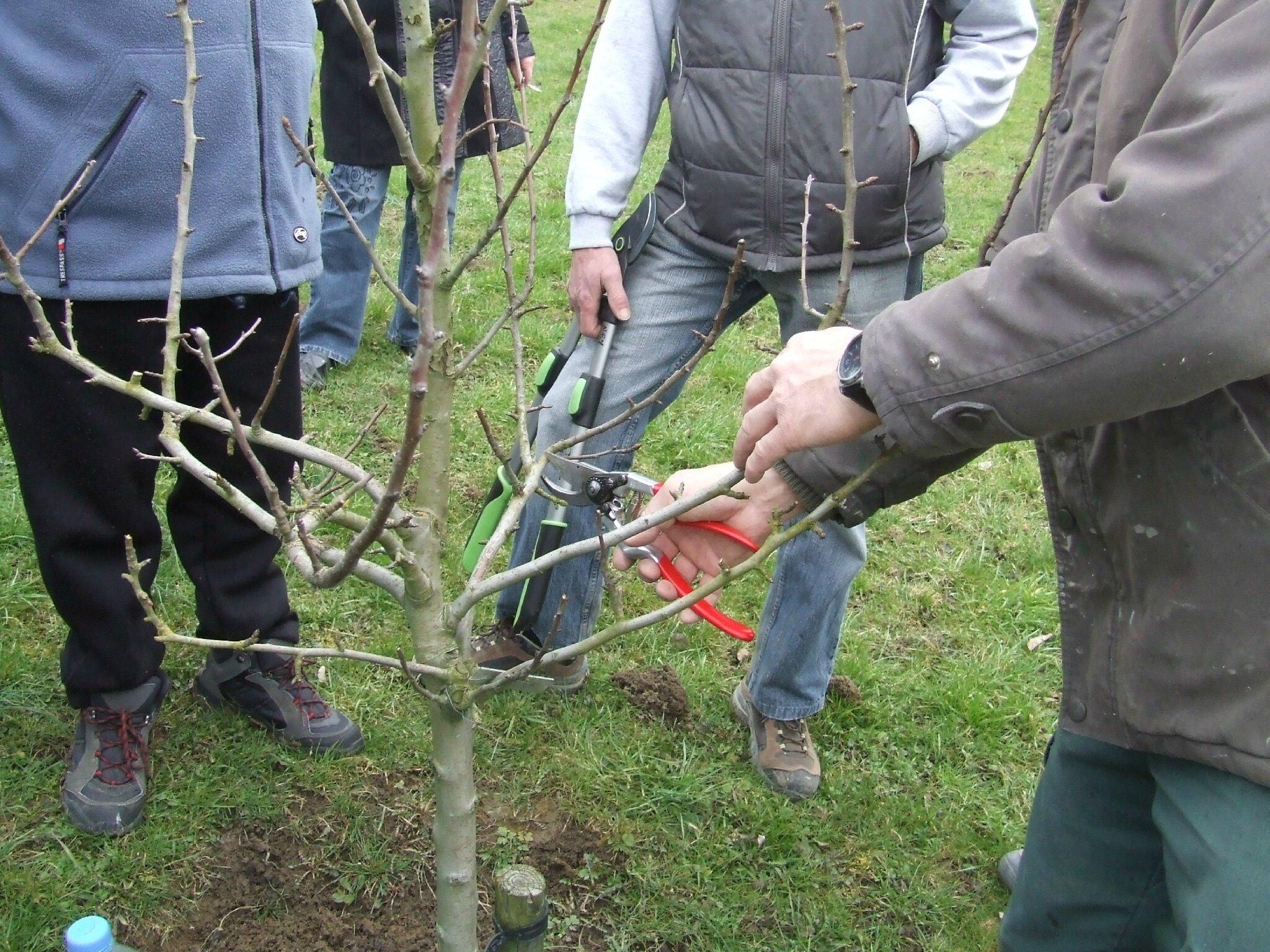 formation taille arbres fruitiers 2013 les amis des jardins de sarrebourg. Black Bedroom Furniture Sets. Home Design Ideas