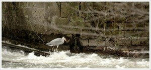 heron_attrape_perche_150308