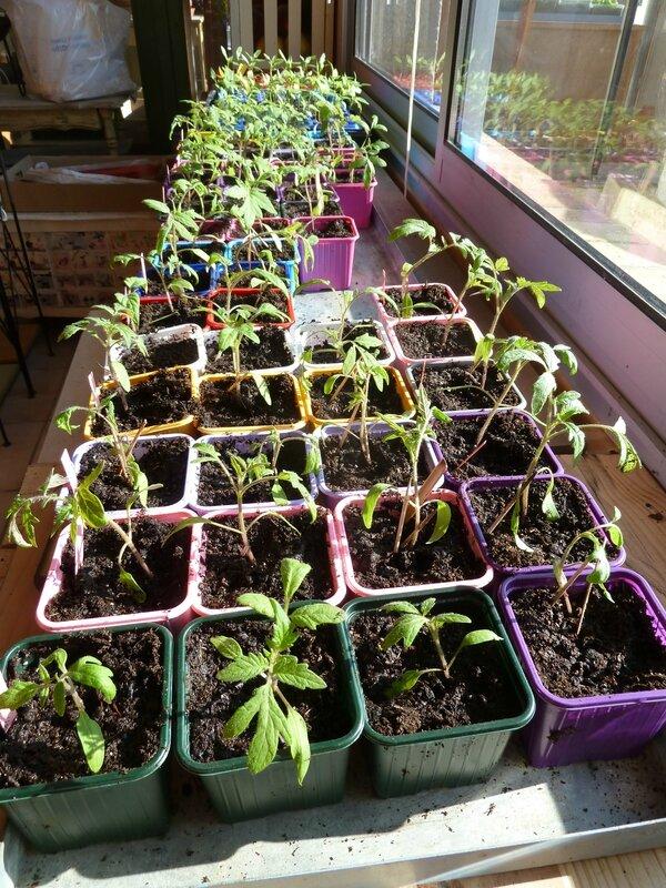 23-tomates et poivrons (5)