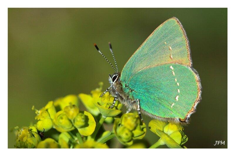 Callophrys_rubi_140416_2_GF