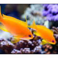 anthias5523_260309