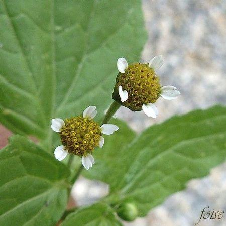 Fleurs périphériques ligulées stériles