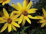 250px_Sunroot_flowers_1_