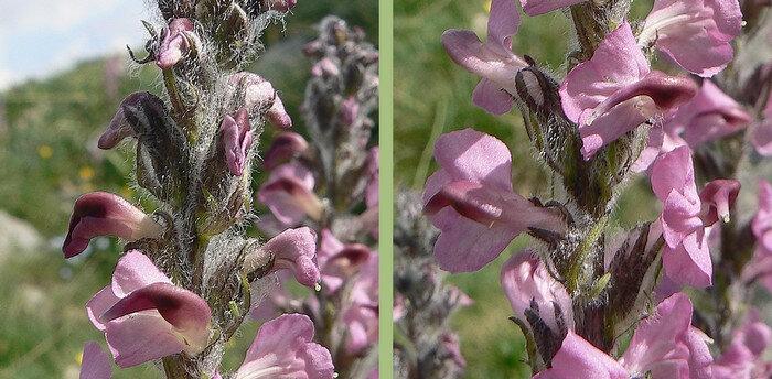 axe floral et calice laineux calice à lobes lancéolés