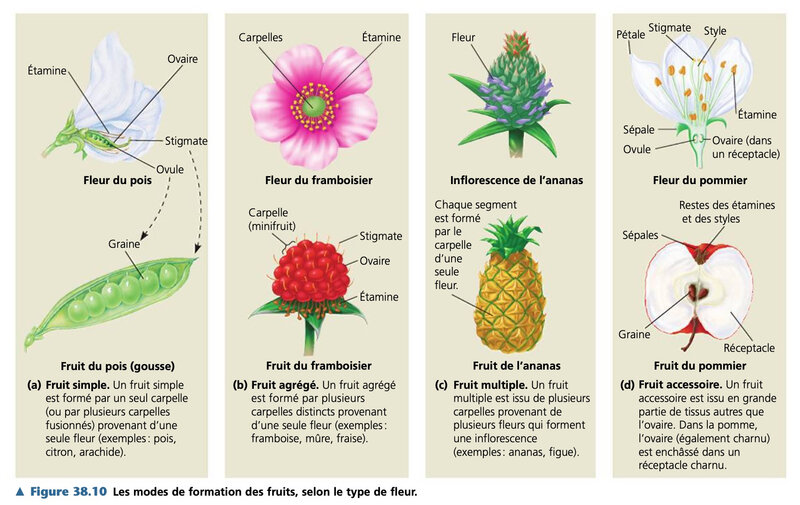 formation des fruits