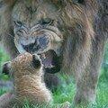 Lionceau ( 2 mois) et papa
